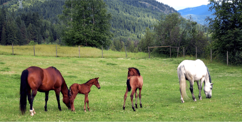 Andalusian Horses in pasture