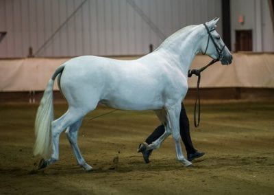 Duquesa - 2016 Sport Horse in Hand
