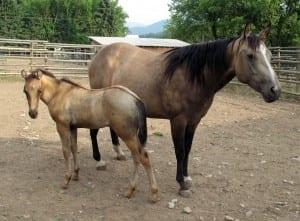 Tivio-Jacks-Ms-Enya-and-foal