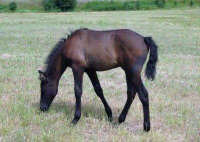 VMF-Gitano-De-La-Noche-foal
