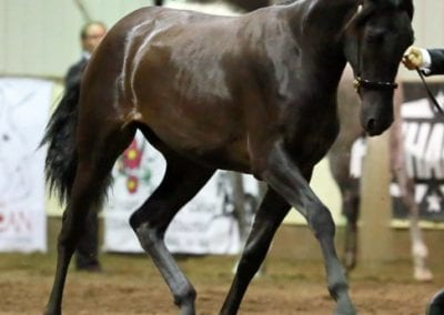 Vali - National Champion yearling filly