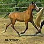 VA Cristal trotting