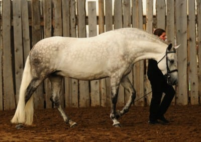 2015 Sport Horse in Hand